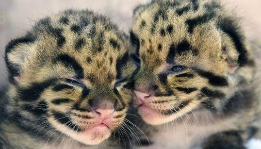 Querrás abrazar a estos leopardos nada más