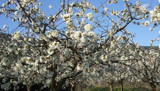 Cuatro destinos espectaculares para disfrutar de los cerezos en