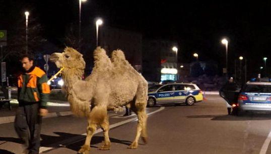 Descubre qué hace este camello paseando por la