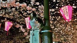 Así se viven los cerezos en flor en