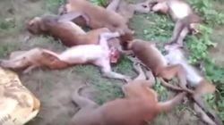Mueren doce monos a la vez en la India tras sufrir un infarto por el rugido de un