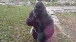 Un gorila rompe un cristal y asusta a los visitantes de un