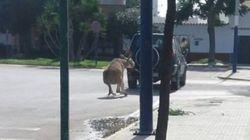 Denuncian a un vecino de Chipiona acusado de arrastrar a un burro atado a su