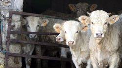 Detectan un caso de vaca loca en