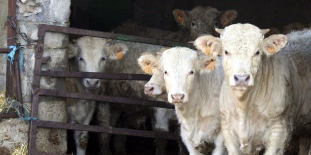 Detectado en Portaje (Cáceres) un caso de 'vaca