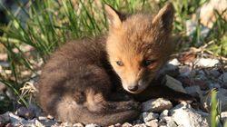 Los cachorros de zorro son los más bonitos jamás