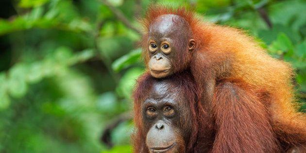¿Puede el turismo salvar al orangután de