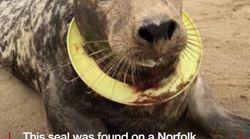 Cuando veas lo que le ha pasado a esta foca, te cuidarás mucho de dejar plásticos tirados en el