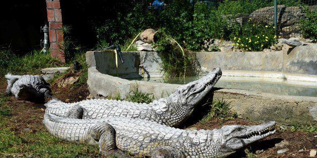 Dos cocodrilos toman el sol en el parque Belvedere de Túnez (Túnez) el 2 de marzo de 2017