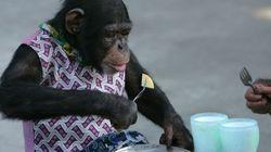 Encuentran ahogado al chimpancé huido de un zoo en