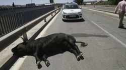 Once personas heridas tras escaparse un toro en