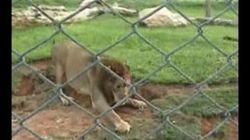 Los primeros pasos en libertad de un león encerrado por 13