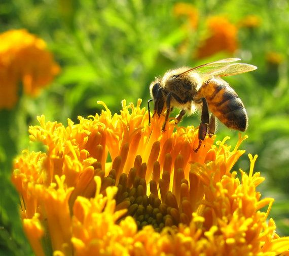 La falta de abejas afectará a la producción de un tercio de los alimentos a nivel