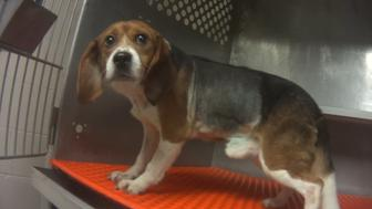 Undercover investigation into Charles River Laboratories - Mattawan, MI. This is one of twenty-one beagles killed in a test of two substances that have been on the market for years. The two drugs were infused into the beagles' lung areas after they were surgically opened to expose the area. The study was sponsored by Paredox Therapeutics which was supported by the University of Vermont with a $1.366 million grant.