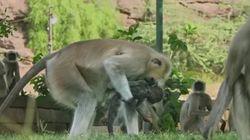 El impactante duelo de unos monos por la 'muerte' de una cría de