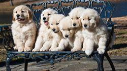 La película de Disney en la que murieron varios cachorritos de Golden