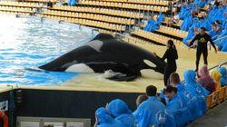 La vida sigue igual para las orcas del Loro