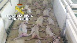Condenan al acusado de matar a saltos a 79 lechones y al compañero que grabó el