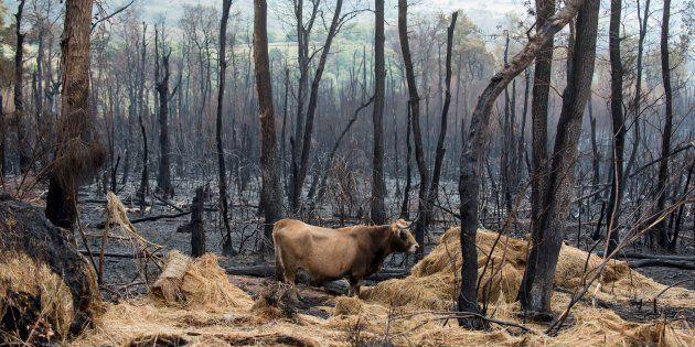 Una vaca camina sobre la superficie calcinada por el incendio forestal de Santirso