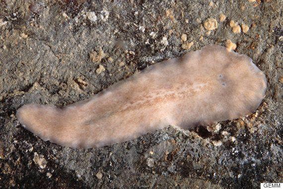 Investigadores españoles descubren una nueva especie marina en la Ría de