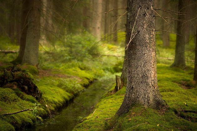 Magic Scandinavian forest with green moss, small ditch and old conifer in