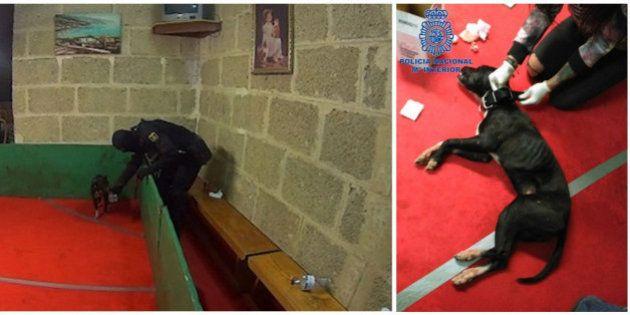 La Policía desmantela una red nacional de peleas de perros y rescata a 230