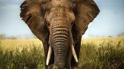 Muere un hombre en Zimbabue aplastado por un elefante con el que quería hacerse un