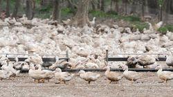 Sacrifican 24.000 patos en Cataluña por un brote de gripe