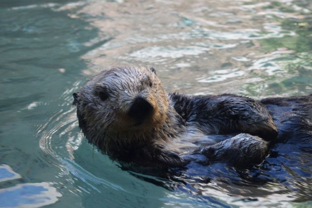 Nutria marina en el Aquarium de Seattle
