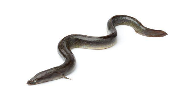 Extirpan una anguila del intestino a un chino que la usó contra el