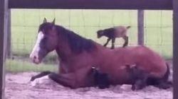 Tu lunes cambiará cuando veas el vídeo de la cabra escalando un caballo (VÍDEO,