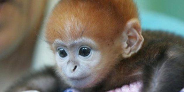 Bichinos de la semana: bebés monos muuuuuuuuuuy monos