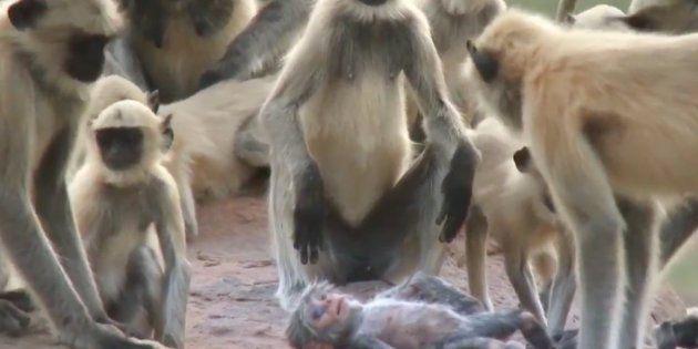 Un grupo de monos confunde un robot con una cría y protagoniza la escena más tierna de los