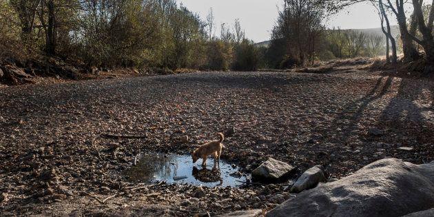 Un perro bebe en el charco que queda en el río Támega, en Verín,