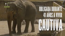Flavia, la elefanta más triste del mundo, lleva 40 años sola en el zoo de