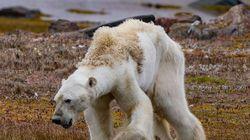 Este oso polar desnutrido muestra el terrible impacto del cambio