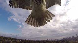 Cuando un halcón ataca a un drone el que gana es...