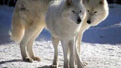 Bichinos de la semana: lobos que parecen bicéfalos y más