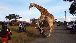 La jirafa que quiso unirse a una banda de moteros (VÍDEO,