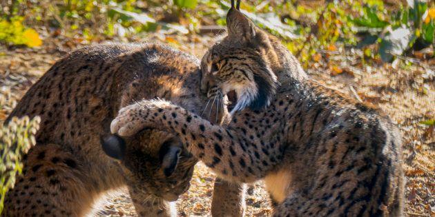 Recuperando el lince, el felino más extinto del