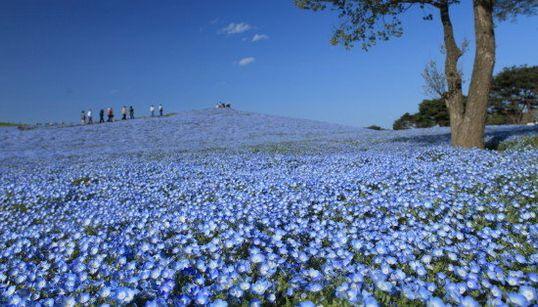El parque de Japón que se convierte en un mar azul de flores