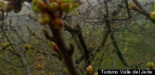 Cerezos en flor: el espectáculo primaveral