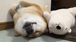 Este Shiba Inu se queda frito con su oso polar de peluche