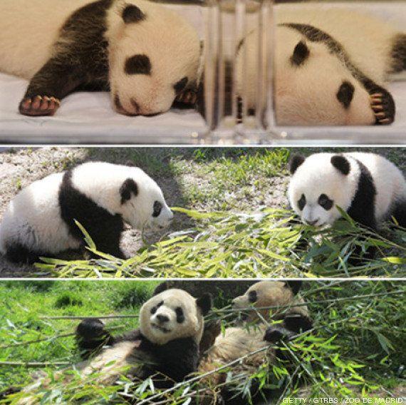 Osos panda de Madrid: Po y De-dé se marchan a China