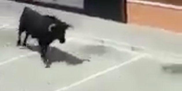 Los gemidos de una mujer mientras graba a un toro escapado arrasan en