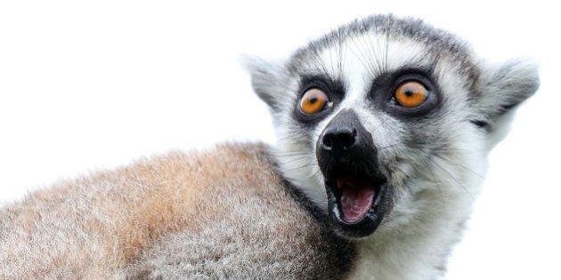 Los animales de la semana: lemures tan expresivos como tú... o más