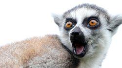 22 fotos de lemures tan expresivos como tú... o más