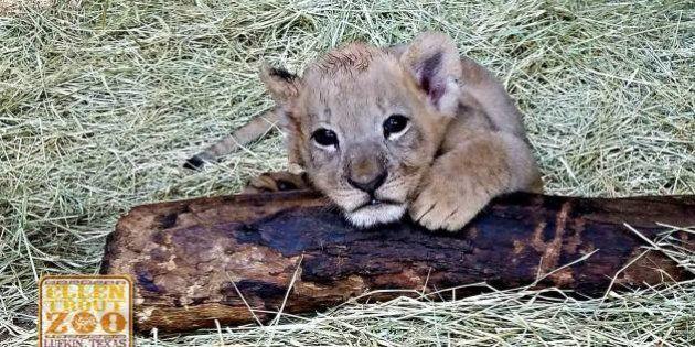 Las fotos de la curiosa cría de tigre albino nacida en un zoo de