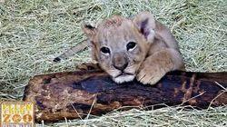 Las fotos del curioso tigre albino nacido en un zoo de
