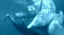 Mira cómo nada el delfín recién nacido del Zoo Aquarium de Madrid